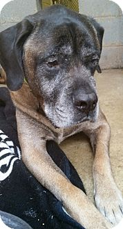 Mastiff Mix Dog for adoption in Pottsville, Pennsylvania - Yukon