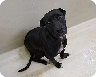 Labrador Retriever Mix Dog for adoption in Odessa, Texas - A10 Max