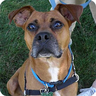 Boxer Mix Dog for adoption in Garfield Heights, Ohio - Sadie