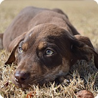 Labrador Retriever Mix Puppy for adoption in CRANSTON, Rhode Island - Mel-ADOPTED