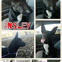 Adopt A Pet :: Ansley in CT - Manchester, CT