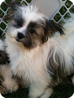 Shih Tzu/Pomeranian Mix Puppy for adoption in Hilliard, Ohio - Gibbs