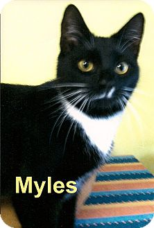 Domestic Shorthair Cat for adoption in Medway, Massachusetts - Myles