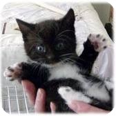 Domestic Shorthair Kitten for adoption in Lancaster, Massachusetts - Alabama