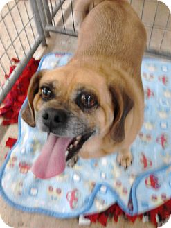 Beagle/Pug Mix Dog for adoption in Greenfield, Indiana - Shadow