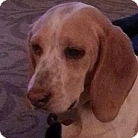 Adopt A Pet :: Snoopy - Seattle, WA