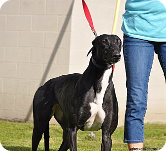 Greyhound Dog for adoption in Columbia, South Carolina - EVER