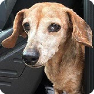 Dachshund Dog for adoption in Houston, Texas - Mina Bonteri