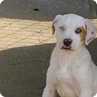 Adopt A Pet :: Tex - Charlemont, MA