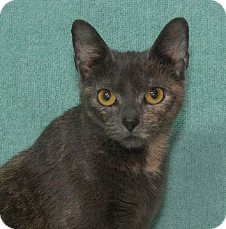 Domestic Shorthair Cat for adoption in Elmwood Park, New Jersey - Coco