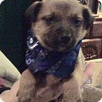Adopt A Pet :: Scout - Buffalo, NY