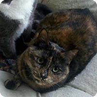 Adopt A Pet :: Lacy - Seahurst, WA