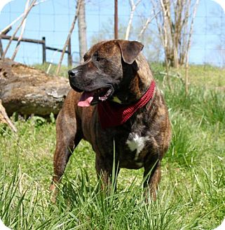Mastiff Mix Dog for adoption in Brattleboro, Vermont - ZEUS