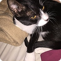 Domestic Shorthair Cat for adoption in Tampa, Florida - Niki