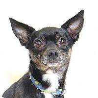 Adopt A Pet :: Batman - Truckee, CA