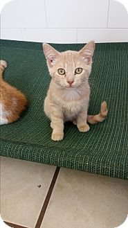 Domestic Shorthair Kitten for adoption in Chippewa Falls, Wisconsin - Klea