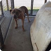 Adopt A Pet :: Bulldog - Lewisburg, TN