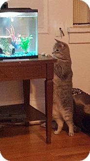 Domestic Mediumhair Cat for adoption in West Orange, New Jersey - Lancelot