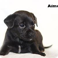 Adopt A Pet :: Aimee - Shamokin, PA