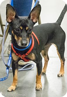 Miniature Pinscher Mix Dog for adoption in Loudonville, New York - Bruce Wayne
