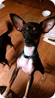 Miniature Pinscher/Chihuahua Mix Dog for adoption in Palestine, Texas - Brenna