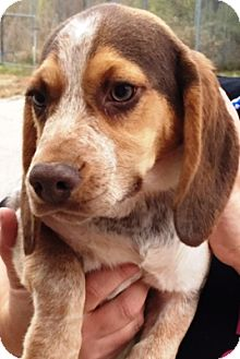 Basset Hound/Beagle Mix Puppy for adoption in Oswego, Illinois - Lucy