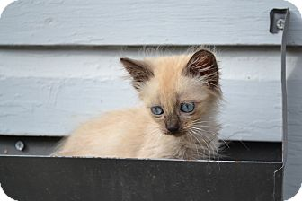 Siamese Kitten for adoption in Fort Worth, Texas - Mocha