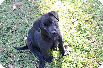 Labrador Retriever Mix Puppy for adoption in Cumming, Georgia - Shea