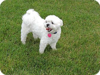 Shih Tzu/Maltese Mix Dog for adoption in South Amboy, New Jersey - Winston