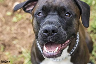 Boxer/Pit Bull Terrier Mix Dog for adoption in Mooresville, North Carolina - Coup