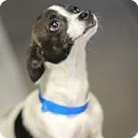 Adopt A Pet :: Capote - Phoenix, AZ