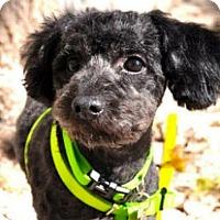 Adopt A Pet :: Ziggy Stardust - Austin, TX