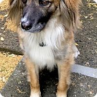Adopt A Pet :: Walter companion dog - Sacramento, CA