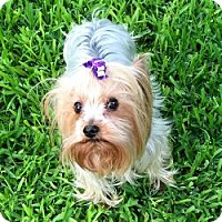 Adopt A Pet :: Buffy - Redding, CA