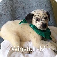 Adopt A Pet :: Winston - Albany, NY