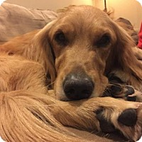 Adopt A Pet :: Shamra - Los Angeles, CA