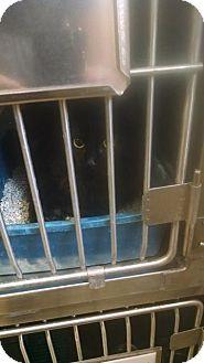 Domestic Shorthair Cat for adoption in Mocksville, North Carolina - Marie