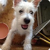 Adopt A Pet :: Creampuff - Manchester, NH