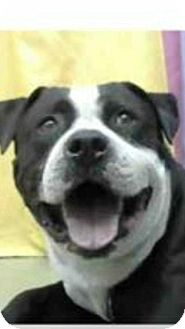 Pit Bull Terrier Dog for adoption in Alta Loma, California - Bruce