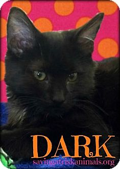 Domestic Mediumhair Kitten for adoption in Tucson, Arizona - Dark