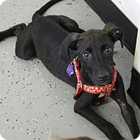 Labrador Retriever Mix Puppy for adoption in Phoenix, Arizona - Max