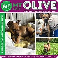 Adopt A Pet :: Olive Oil - New Port Richey, FL