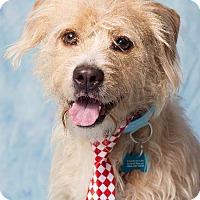 Adopt A Pet :: Bobby - Gilbert, AZ