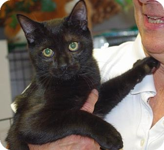 Domestic Shorthair Cat for adoption in Longview, Washington - Lenny