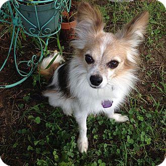 Pomeranian Mix Dog for adoption in Edmond, Oklahoma - Cody (Adoption Pending)