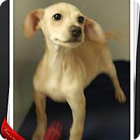 Adopt A Pet :: Miley - Apache Junction, AZ