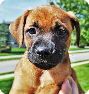 German Shepherd Dog/Australian Cattle Dog Mix Puppy for adoption in Gretna, Nebraska - Sauvee *Jasmine's Puppy*