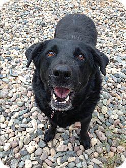 Labrador Retriever Mix Dog for adoption in Phoenix, Arizona - Fanny