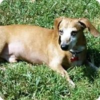 Dachshund Dog for adoption in Portland, Maine - ZACH