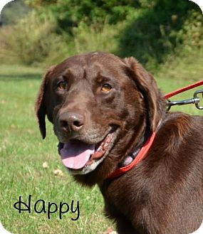 Labrador Retriever Mix Dog for adoption in DuQuoin, Illinois - Happy-approved application